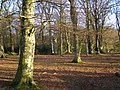 Beech woodland west of Ferny Crofts, New Forest - geograph.org.uk - 291787.jpg