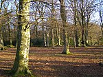 File:Beech woodland west of Ferny Crofts, New Forest - geograph.org.uk - 291787.jpg