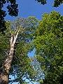 Beeches near Torre Abbey - geograph.org.uk - 1858144.jpg