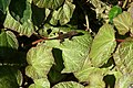 Begonia Boomer 6zz.jpg