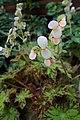 Begonia subacida 'Cleopatra' kz01.jpg