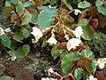 Begonia wrightiana HabitusFlowers BotGardBln0906a.JPG