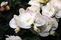 Begonia x hiemalis Clara 0zz.jpg