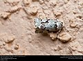 Beloved Emarginea Moth (Noctuidae, Emarginea percara) (30508354912).jpg