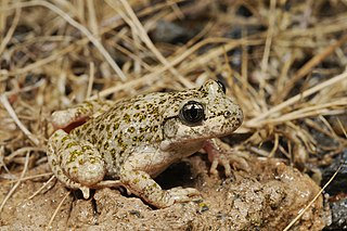 Betic midwife toad species of amphibian