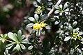 Berberis aggregata - fleurs.jpg