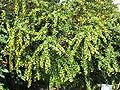 Berberis verruculosa1.jpg