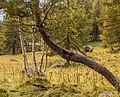 Bergtocht van Peio Paese naar Lago Covel in het Nationaal park Stelvio (Italië). Meerstammige berk (Betula) achter Europese lariks (Larix decidua).jpg