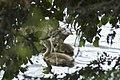 Bernaches du Canada (Branta canadensis) petits 01.jpg