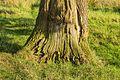Beschadigde bast van een Eik (Quercus). Locatie, natuurgebied Delleboersterheide – Catspoele 02.jpg