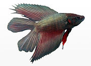 A metallic, double-tail male Betta