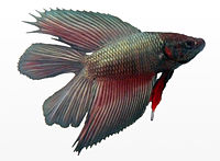 Betta splendens male doubletail.jpg