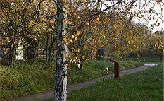 Betula-pendula-autumn.JPG
