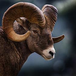 כבש גדול-קרניים (זכר) במונטנה