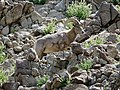 Bighorn sheep (46611293395).jpg