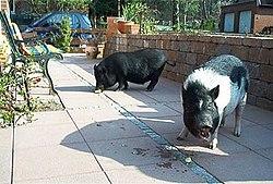 Bild-Minischweine.jpg