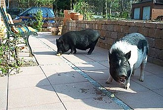 Miniature pig - Two-year-old miniature pigs of unknown genetic descent.