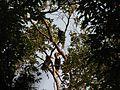 Bird Wreathed Hornbill Rhyticeros undulatus IMG 9195 (20).jpg