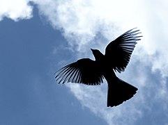 Bird silhouette flying in the sky.jpg