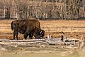 Bison (47494520321).jpg