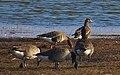 Bläsgås Greater White-fronted Goose (13041342333).jpg