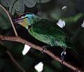 Black-browed Barbet (Megalaima oorti) (7937032108).jpg