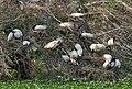 Black-headed Ibis (Threskiornis melanocephalus) nesting at Garapadu, AP W IMG 5194.jpg
