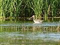 Black-tailed Godwit (Limosa limosa) (29749206898).jpg