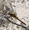 Black-tailed Skimmer Female. Orthetrum cancellatum - Flickr - gailhampshire (1).jpg