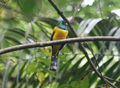 Black-throated-trogon.png