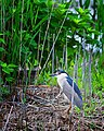 Black Crowned Night Heron Forsythe Nwr New Jersey (29839369).jpeg