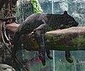 Black Leopard (27655716800).jpg