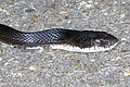 Black Rat Snake - Pantherophis obsoletus, Lorton Workhouse, Lorton, Virginia (42897485540).jpg