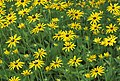 Black eyed susan dyke road (20013843578).jpg