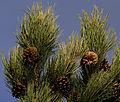 Black pine - Karaçam 01.jpg