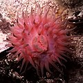 Black sea fauna actinia 01.jpg