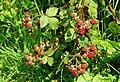 Blackberries near Downpatrick - geograph.org.uk - 900612.jpg