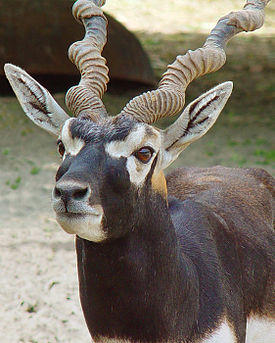 Blackbuck Antelope (1).jpg