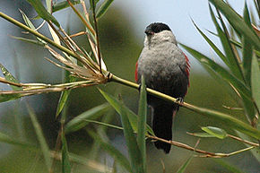 Description de l'image Blackheadwaxbill.jpg.