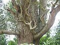 Blackwood Acacia (6369219667).jpg