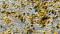 Bladder wrack peeking up above the water 1.jpg
