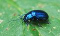 Blauer Käfer.jpg