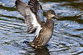 Blue-winged teal display green cay dec (14104925877).jpg