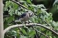 Blue Jay (4855701832).jpg