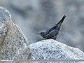 Blue Rock Thrush (Monticola solitarius) (30021021788).jpg