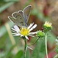 Blue butterfly (15237439727).jpg