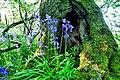 Bluebells (17666715620).jpg