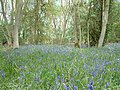 Bluebells in Monks Wood - geograph.org.uk - 411189.jpg