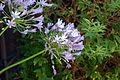 Bluelily3800ppx.jpg