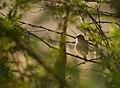 Blyth's Reed Warbler portrait.jpg